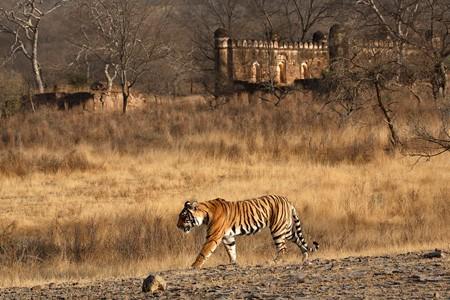 inindia_tiger