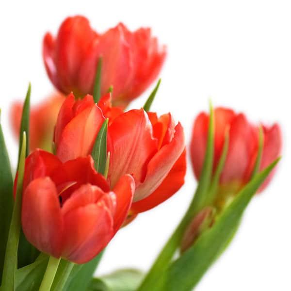 Tulpen sind als frühlingsboten ein willkommenes motiv nach dem