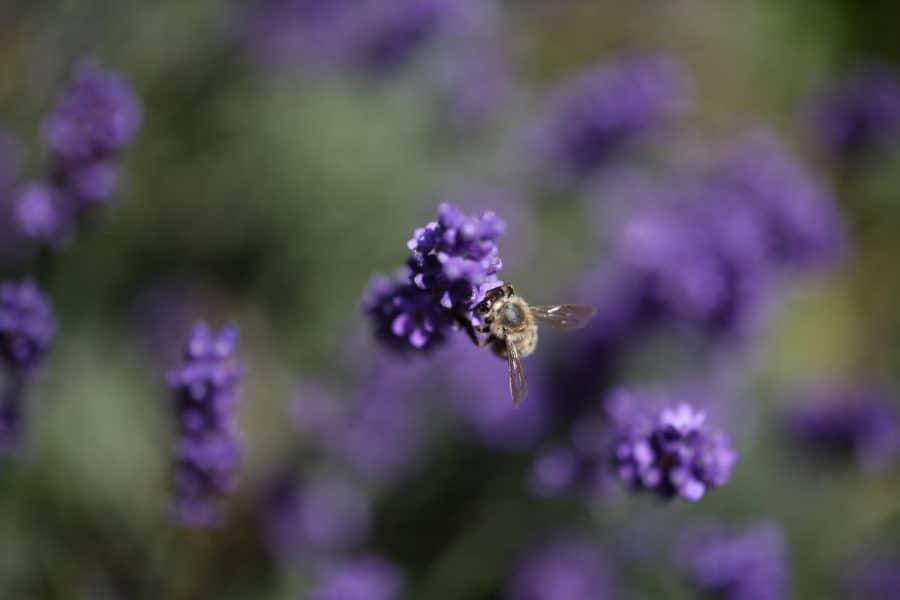 Nahaufnahme Biene in Lavendel