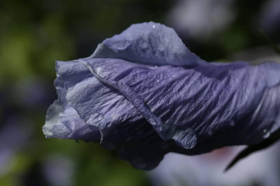 Nahaufnahme Hibuskus Blüte geschlossen