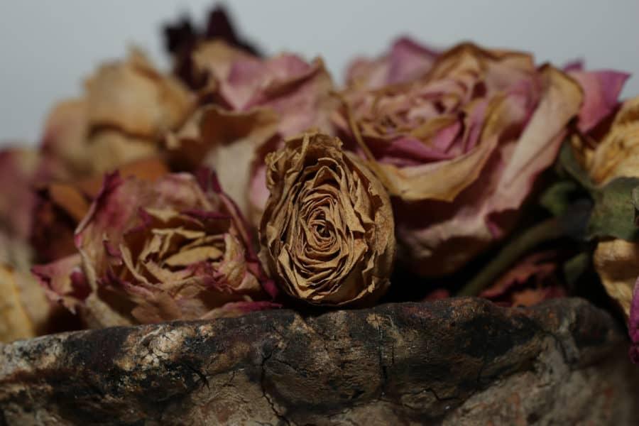 Nahaufnahme Trockene Rose