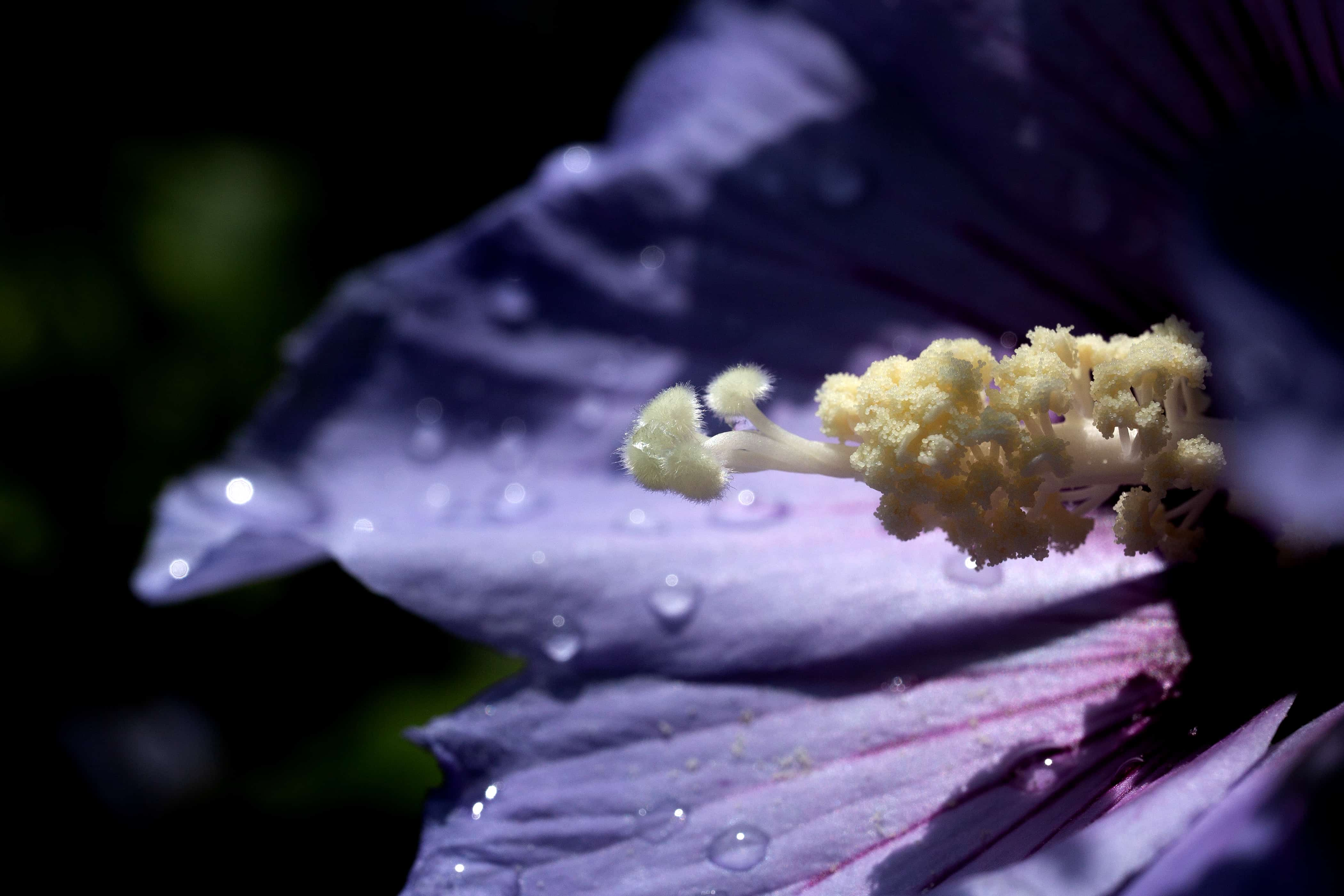 Hibiskus / Sigma 70 mm Macro