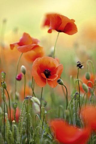 Wiese mit roten Mohnblumen im Frühling