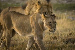Namibia Löwen