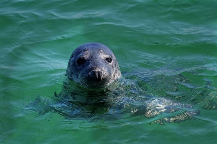 Helgoland Seehund