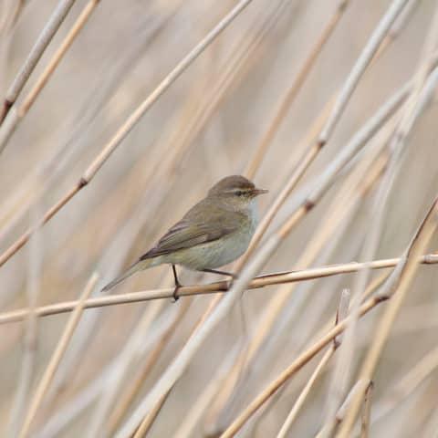 Helgoland Düne Vogel