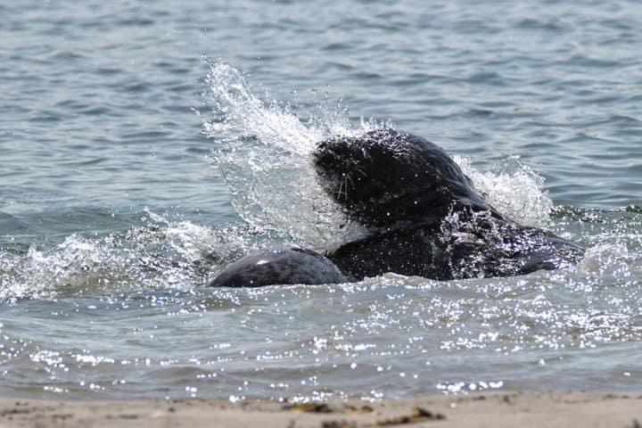 Helgoland Düne Robbe Splash