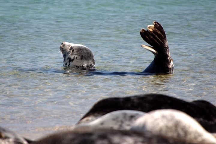 Helgoland Düne Robbe