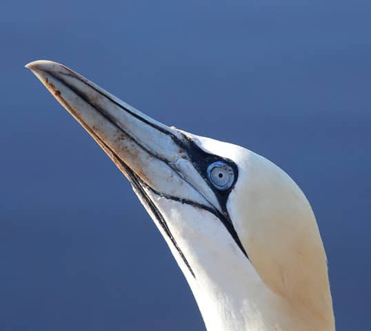Helgoland Basstölpel