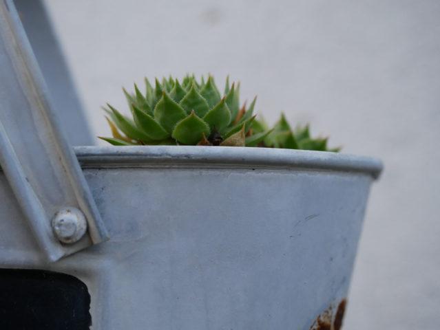 Pflanzen in Blechgefäß