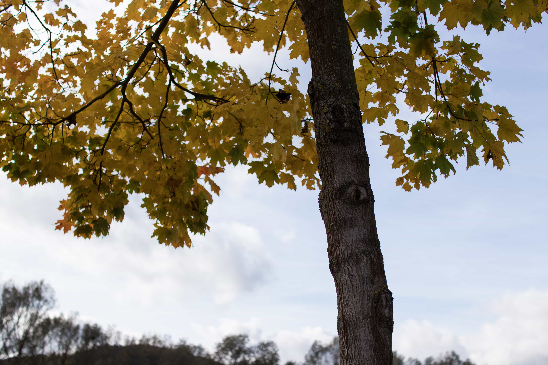 Herbstlaub am Baum. Objektiv: Sigma 1,4/30 mm DC | Art
