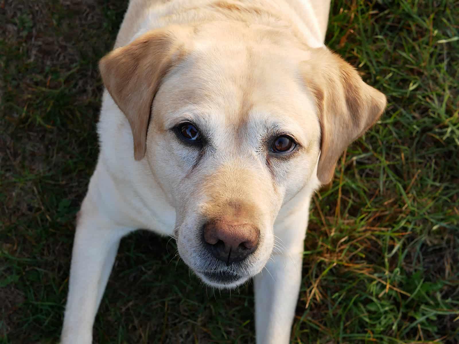 Labrador wartet auf Leckerli