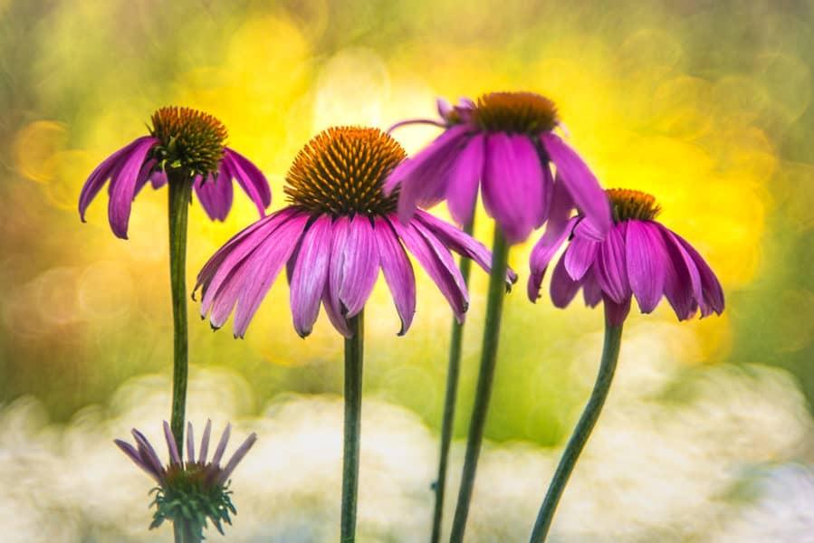 "Heidi Pomowski, ""Echinacea"" Nikon D750"