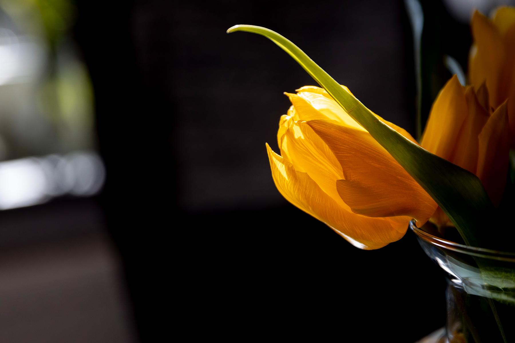 Gelbe Tulpe fotografiert mit Sigma 24-70 mm Art