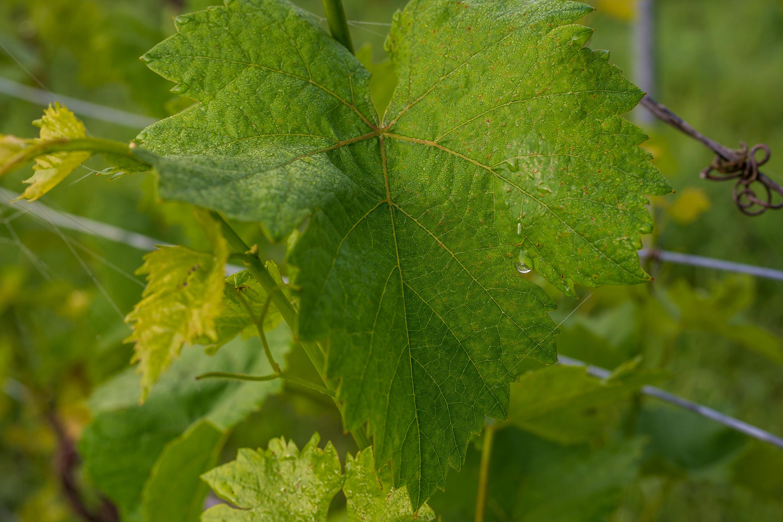 Weinblatt, aufgenommen mit Nikon Z6