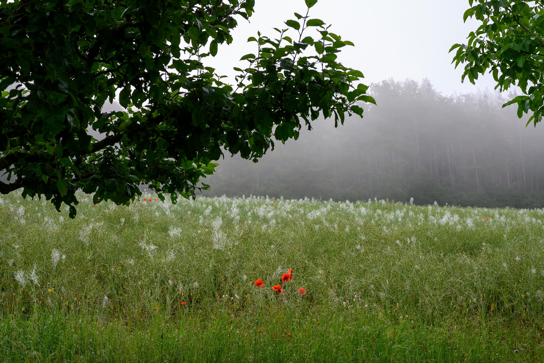 Mohnblumen vor einem Feld, aufgenommen mit Nikon Z6