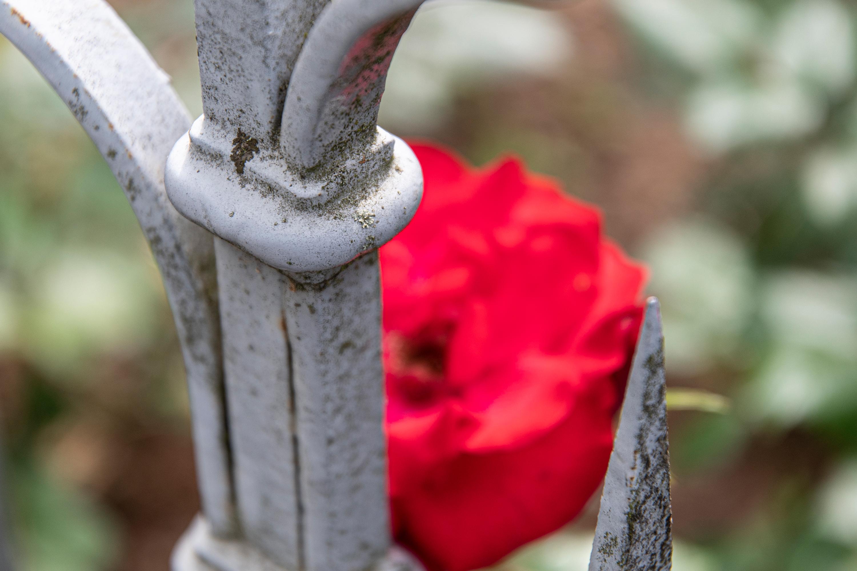 Gartenzaun und Rose, aufgenommen mit Nikon D7500