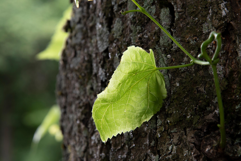 grünes Blatt, aufgenommen mit Nikon D7500