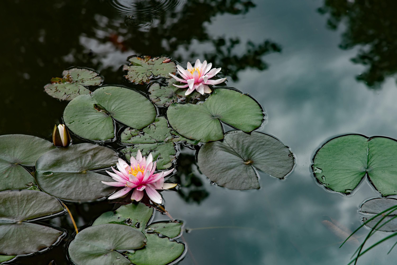 Seerosen, aufgenommen mit Nikon D750